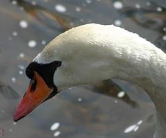 Swan (Peter Brake) Tags: newfoundland swan searchthebest cornerbrook glynmillinnpond impressedbeauty explore121806