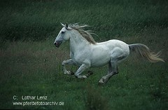 lus6562 (Lothar Lenz) Tags: horse caballo cheval cavalo pferd hest equus paard lusitano hst hestur konj hobu zirgs lotharlenz