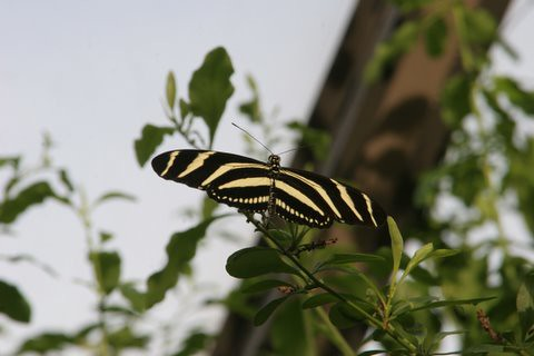 Zebra Long Wing Butterfly, IMG_0855.JPG