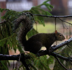 Squirrel Busy, Busy, Busy!!! (mightyquinninwky) Tags: trees brown green window nature rain animal pine fur office furry squirrel squirrels december kentucky wildlife evergreen rainy urbannature lexingtonky limbs needles creatures chevychase wildanimals misting fontaineroad centralkentucky