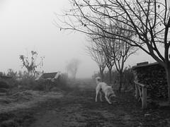 a dog in rural road (stefg74) Tags: road bw dog mist tree fog blackwhite free dogfood steven stg gst stefano stefanos  freeuse   ysplix stggr1   justrss justrsscom wwwjustrsscom httpwwwjustrsscom stefg74