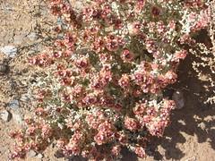 Desert Flowers (Sean Paul Kelley) Tags: khorasan omarkhayyam tabas dashtikavir nishapur