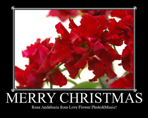 バラ・アンダルシアとクリスマス