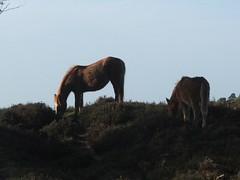 Sunlit ponies