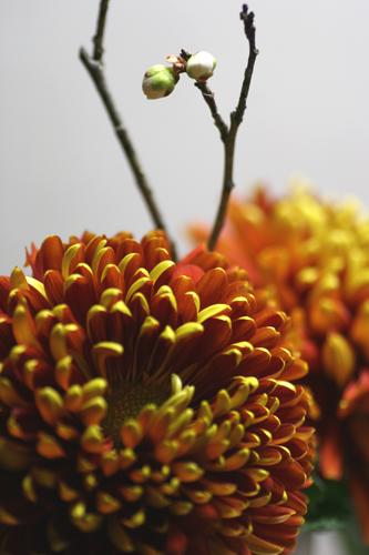 chrysanthemum tompiers