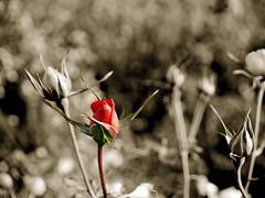 Rosa de invierno (FranJa) Tags: bw espaa byn sepia cutout spain dof bokeh flor gimp rosa olympus bn valladolid spanish e300 thegimp espaol virado profundidaddecampo franja softwarelibre desaturado ltytr1 elgimp franja franjav4ll