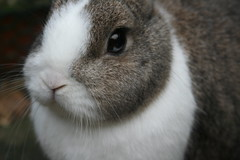 rabbit Angel (ksvrbrg) Tags: cute rabbit bunny konijn adorable dutchdwarf