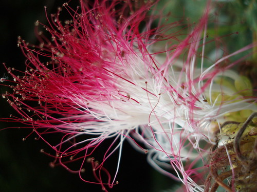 Amazonian flower
