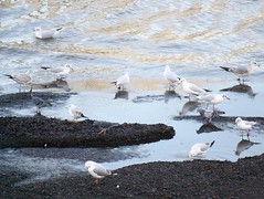 Black-headed Gulls, Common Gulls, Feral Pigeons on Thames foreshore in Rotherhithe