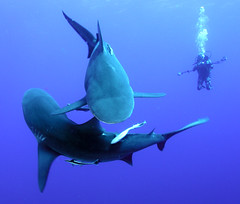 Shark Yin Yang (Fiona Ayerst) Tags: ocean blue motion beauty animals grey shark big underwater indian teeth scuba bull sharks strength mozambique zambezi abigfave