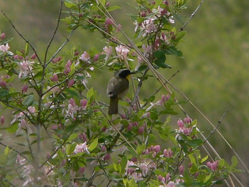 631 Common Yellowthroat 02