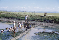 1960 Korea ~ Rice Farming near Iksan City (Smothers52) Tags: korea ricepaddy irrigation 1960 iri iksan jeollabukdo ricefarming chollabukdo