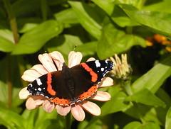 Butterfly in Sun (Kirsten M Lentoft) Tags: flower butterfly redadmiral mariposa vanessaatalanta momse2600 mariposasellama kirstenmlentoft