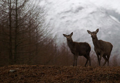 Curiosity (Kenny Muir) Tags: red nature animal silhouette mammal scotland highlands glen deer venison glencoe etive specanimal animalkingdomelite