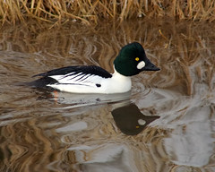 Uncommonly Close Goldeneye Reflections (Fort Photo) Tags: winter white reflection bird nature birds animal colorado fort wildlife birding fortcollins aves ave co collins ornithology avian 2007 goldeneye anatidae commongoldeneye anseriformes bucephalaclangula anatinae birdphoto specanimal animalkingdomelite abigfave impressedbeauty