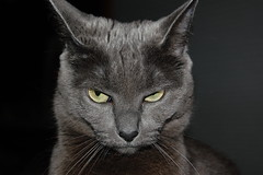 I will kill thee a hundred and fifty ways. Therefore tremble and depart. (mostlysunny1) Tags: cat grey feline meadow kitty shakespeare unhappy annoyed russianblue insults