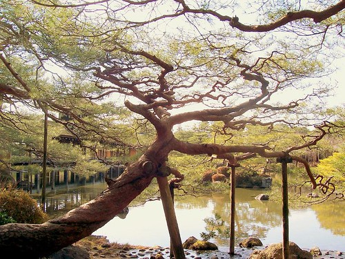ancient tree - Heian Temple