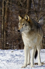 Lukas (kotobuki711) Tags: winter snow ny newyork male grass woods wolf dof bokeh conservation beta brush lukas wolves betamale britishcolumbian southsalem wolfconservationcenter impressedbeauty fantasticanimalphotos