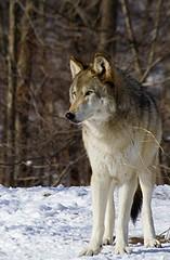 Lukas (kotobuki711) Tags: winter snow ny newyork male grass woods wolf dof bokeh conservation beta brush lukas wolves betamale britishcolumbian southsalem wolfconservationcenter impressedbeauty fantasticanimalphotos
