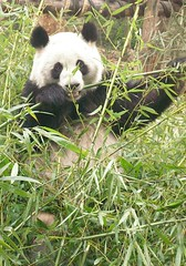giant panda (Rex Pe) Tags: china animals wildlife chengdu giantpanda sichuan zooanimals animalkingdomelite pandaresearchcenter