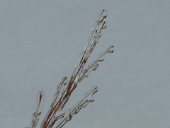 icy little bluestem