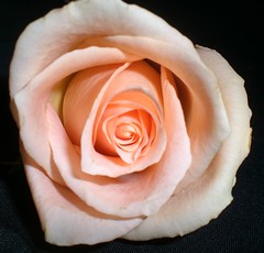 Peach Rose (~Kim's Picture Gallery~) Tags: rose sweet daughter peach explore kindness elegant supershot 10faves fantasticflower impressedbeauty impressedbyyourbeauty superbmasterpiece wowiekazowie onenesslabyrinth sheildofexcellencegroup ishflickr excellentphotographeraward masterphotosgroup flickrblooms betterthangood