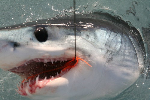 Mako Shark Fished in California