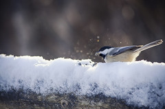 Frozen Food (flashfix) Tags: december092016 2016 2016inphotos nikond7000 nikon ottawa ontario canada 40mm bird snow seed merbleue chickadee blackcappedchickadee birdphotography nature mothernature winter fence fencefriday bokeh chickadeenotjackalope