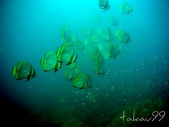School of Shaded Batfish at Surin Islands, Thailand
