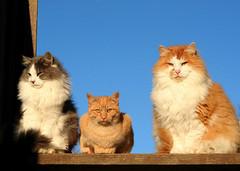 3 Amigos (Boered) Tags: cats baby boys fuzzy elmo kittysuperstar
