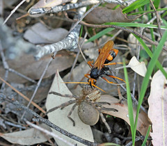 Spider wasp at work (Michael Jefferies) Tags: insect spider australian australia queensland arthropods huntsman hymenoptera stanthorpe pompilidae sparassidae pc4380 mgjefferies isopeda cryptocheilusbicolor