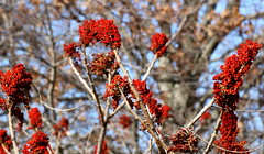 sumac colors2 (Muffet) Tags: red weeds sumac