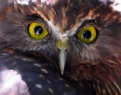 Morepork  2 close. (Ian Mc1) Tags: willowbank specanimal animalkingdomelite abigfave