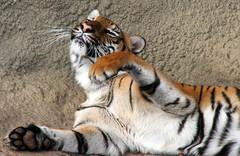 Come on over here, I won't bite!  Heehee! (Connie Lemperle) Tags: feline searchthebest tiger kitty explore playful cincinnatizoo instantfave animaladdiction animalkingdomelite impressedbeauty lemperleconnie allrightsreserved