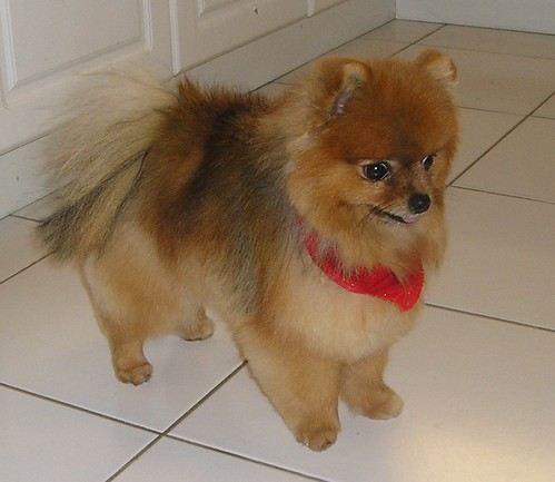 Short hair cut for a Pomeranian?