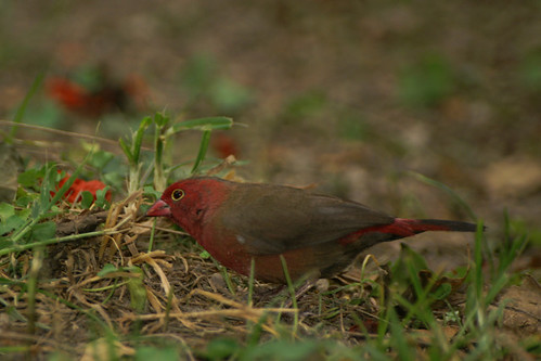 African Firefinch by toby.austin.
