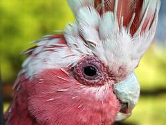 BJ (Cyron) Tags: macro bird photo australia 2006 newsouthwales bj zuiko cyron galah narrabri eolophusroseicapillus eolophus zd 35mmf35 pc2390 35mmmacro35 wildlifeofaustralia 16thnarrabritripolympus birdsshowcase