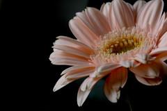 Gerbera (yoshiko314) Tags: pink flower macro closeup gerbera 55mmf28aismicro