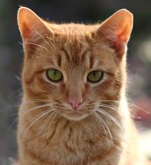 Mini (Boered) Tags: cat eyes mini explore ear feral cc400 cc300 minimilo abigfave anawesomeshot milosson