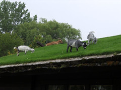 Goat Roof, Sister Bay (visioncity) Tags: roof green grass wisconsin goat doorcounty aljohnsons wasniowski visioncity
