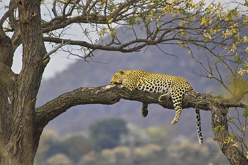 Leopard (panthera pardus) by Arno & Louise.
