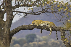 Leopard (panthera pardus) - by Arno & Louise