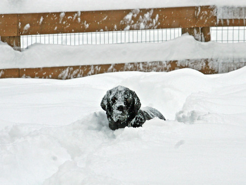 Loki buried in the snow