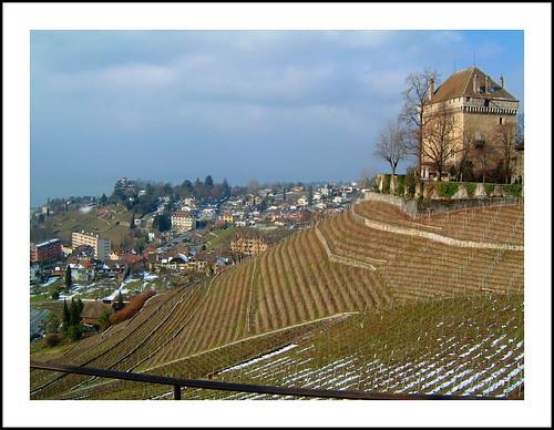 Lines of Vineyards