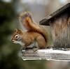 Caught Again! (Sharon Mollerus) Tags: squirrel bokeh wildlife birdfeeder dm 123nature lovephotography animalkingdomelite top20bokeh impressedbeauty 20061222 qd10 qd09