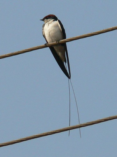 wired tail swallow