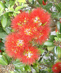 Flowers from the Pohutukawa tree: New Zealand's native Christmas tree