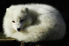 Arctic fox (ucumari photography) Tags: animal mammal zoo nc nikon north d70s january northcarolina fox carolina nczoo 2007 arcticfox northcarolinazoo outstandingshots specanimal ucumari animalkingdomelite abigfave ucumariphotography impressedbeauty