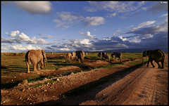 Elephants heading towards the mountains (Edgar Thissen) Tags: africa sunset elephant 20d nature canon evening bravo kenya wildlife safari explore elephants amboseli naturesfinest pgphotography edgarthissen 11913 specnature specanimal animalkingdomelite abigfave anawesomeshot impressedbeauty bfgreatesthits