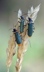 Three (Kim Aubrey) Tags: macro bug insect three beetle arthropoda coleoptera insecta soldierbeetle cantharidae chauliognathus elateroidea polyphaga specinsect elateriformia chauliognathuslugubris kimlou58